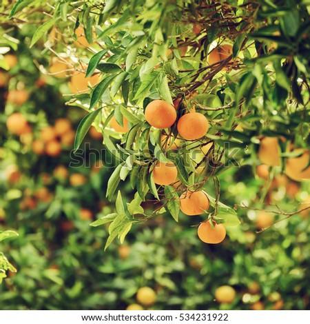 Tangerine Sunny Garden Green Leaves Ripe Stock Photo (Edit Now ...