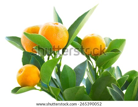 Tangerine tree branch  isolated on white background - stock photo