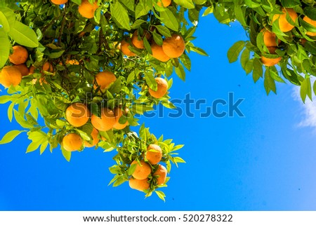 Tangerine tree. Oranges on a citrus tree.  clementines ripening on tree against blue sky