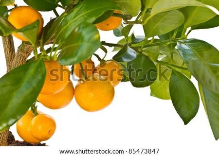 tangerine tree with fruit on a white background - stock photo