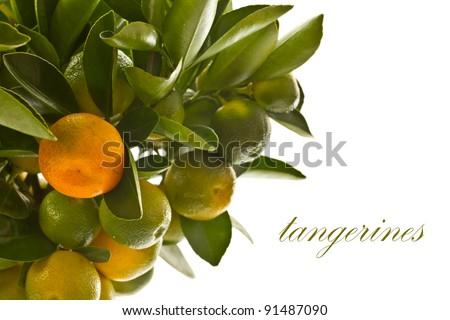 tangerine tree with ripe and green tangerine - stock photo