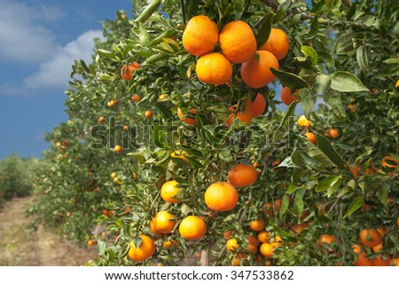 tangerine trees in garden - stock photo