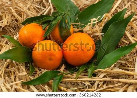 Tangerines on hay a still life. ripe svezhesorvanna. for transportation fruit - stock photo