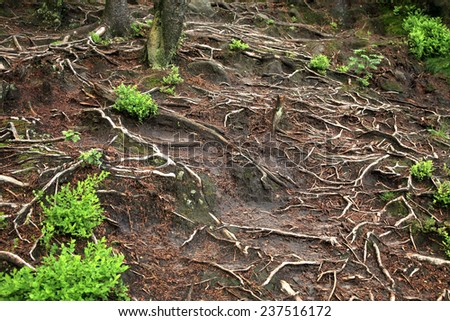 Tangle of roots on a mountain trail. Natural background. - stock photo