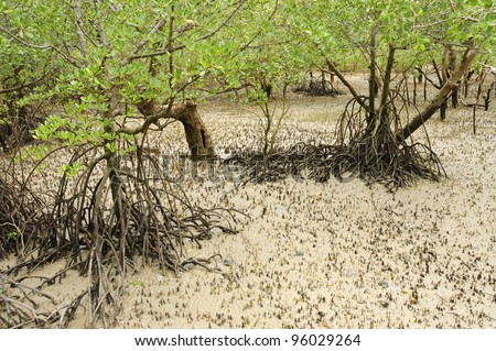 Tangled prop roots of mangrove in the mud of tidal shoreline - stock photo