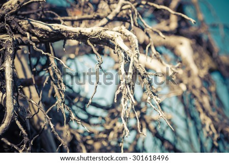 Tangled root ball branches of a dead tree with a blue background and a shallow depth of field. - stock photo