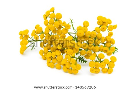 tansy flowers (Tanacetum Vulgare) isolated on a white background close-up. horizontal photo. - stock photo
