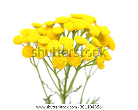 Tansy on a white background - stock photo