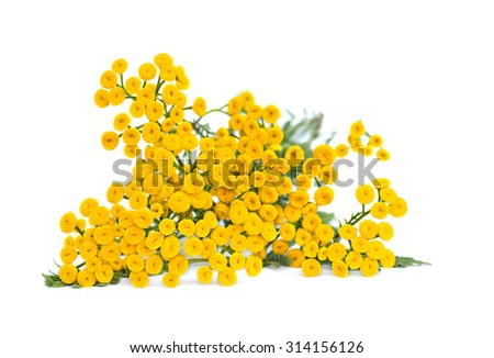 Tansy (Tanacetum vulgare) on white background - stock photo