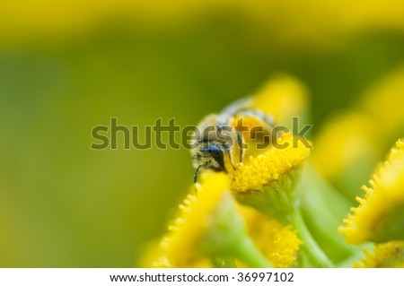 Tansy with little bee, summer macro