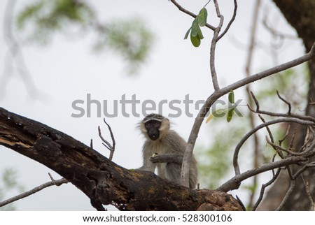 Tantalus monkey, Chlorocebus tantalus eating in Benoue national park, Cameroon.