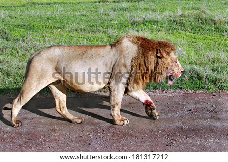 TANZANIA, NGORONGORO CONSERVATION AREA - FEBRUARY 13, 2008: Wild African lion walking along the road on a sunny day. Satiated lion returned from successful hunt, muzzle and paws stained with blood. - stock photo