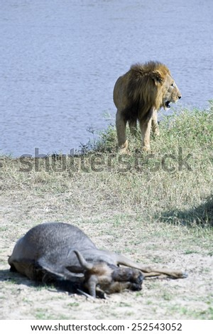 Tanzania, Serengeti National Park, the Mara River area, a lion (panthera leo) with his quarry - stock photo