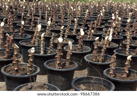 Tapioca Plants Cassava in pots. closeup Useful as background for design-works. - stock photo