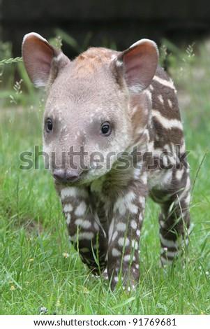 Tapir - stock photo