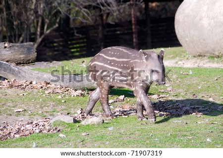 Tapir  baby busily pass by a large boulder. - stock photo