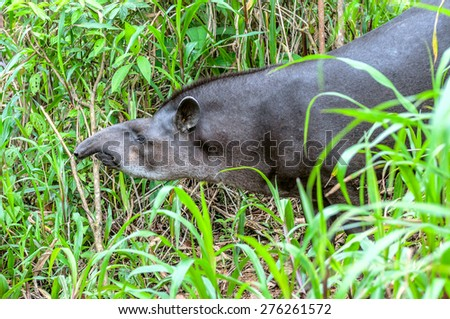 Tapir head and shoulders profile on a background of lush green fresh grass, ecuadorian Amazonia - stock photo