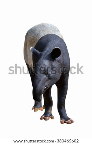 Tapir standing on a white background.