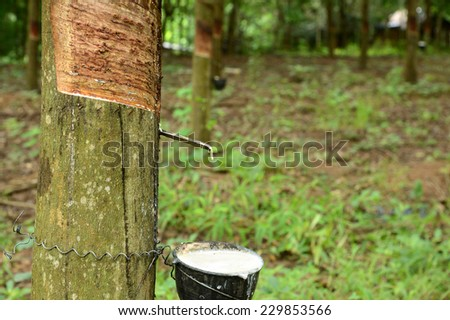 Tapped rubber tree and cup