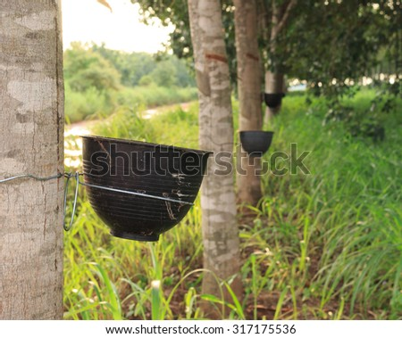 Tapping latex from a rubber tree,rubber tree is plants economy. - stock photo