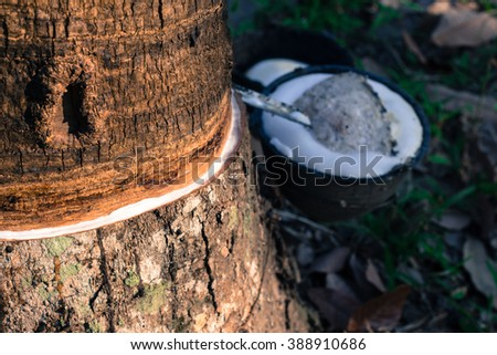Tapping sap from from rubber tree
