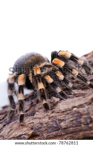 Tarantula - stock photo