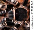 tarantula acanthoscurria geniculata in natural environment - stock photo