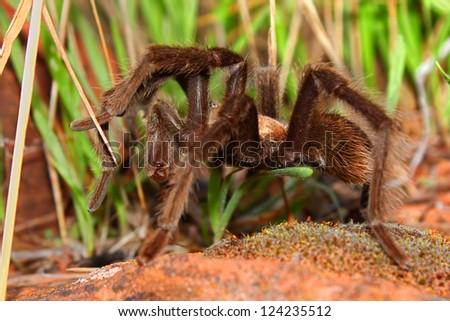 Tarantula at Zion National Park of Utah - stock photo