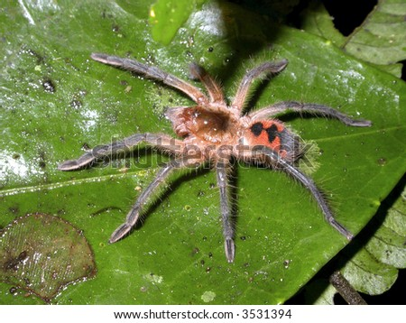 tarantula on leaf in rainforest - stock photo