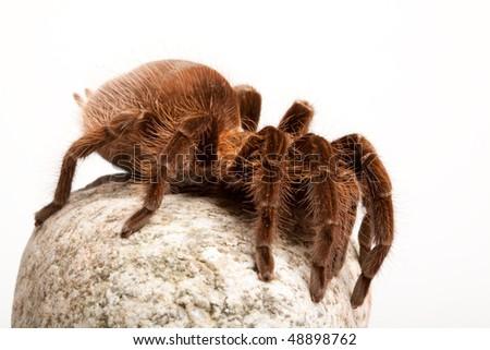 Tarantula on Stone - stock photo