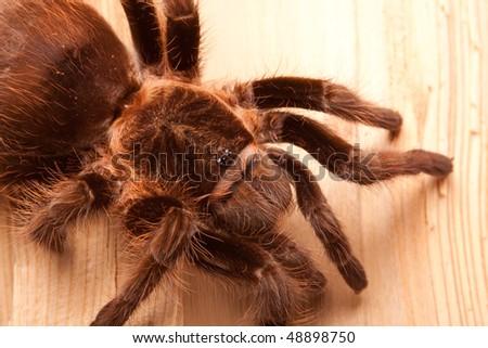 Tarantula on wood - stock photo