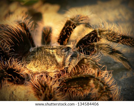 Tarantula portrait - stock photo