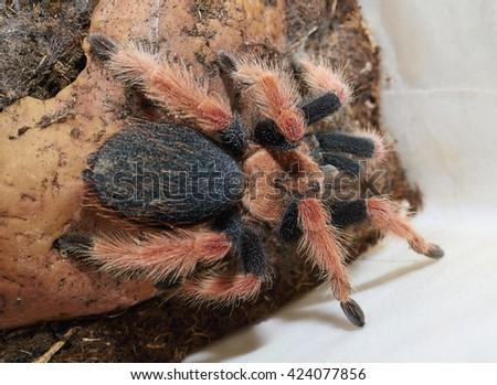 Tarantula spider (Brachypelma boehmei) macro. - stock photo
