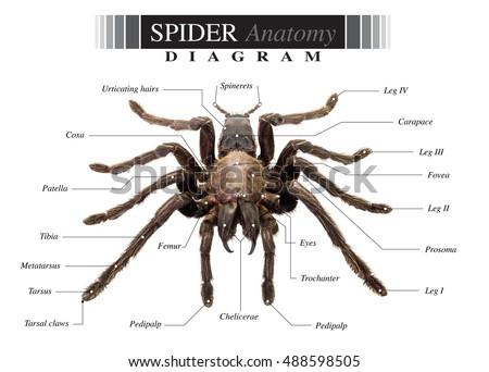 Tarantula Spider Eurypeima Spiciness Species Diagram Stock Photo ...