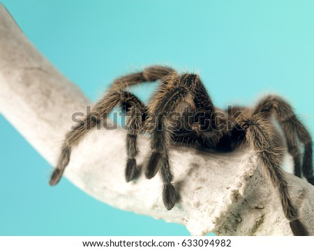 Tarantula spider on wood branch shot in the studio isolated on blue background & Blue Fang Tarantula Stock Images Royalty-Free Images u0026 Vectors ...