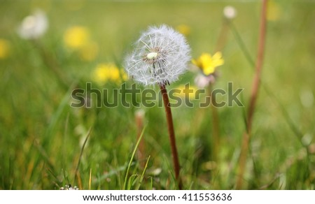 Taraxacum officinale - A common dandelion, trying to hang on on the last of it's seeds.