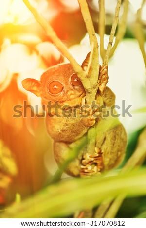 Tarsier monkey in natural environment - stock photo
