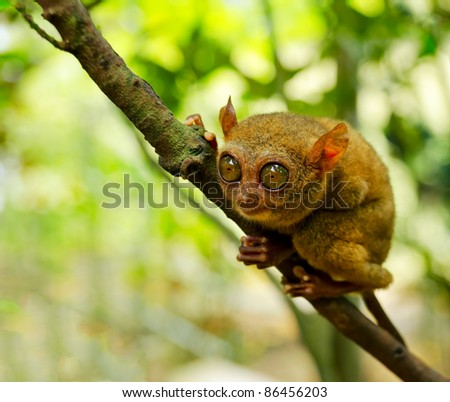 Tarsier on the tree. Bohol island, Philippines.