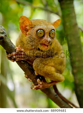 Tarsier on the tree. Bohol island, Philippines. - stock photo