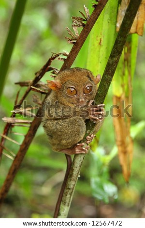 Tarsier photographed in Bohol, philippines - stock photo