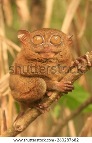 Tarsier sitting on a tree, Bohol island, Philippines, Southeast Asia, soft focus - stock photo