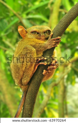 Tarsier (Tarsius Syrichta), the world's smallest primate in Bohol, Philippines - stock photo
