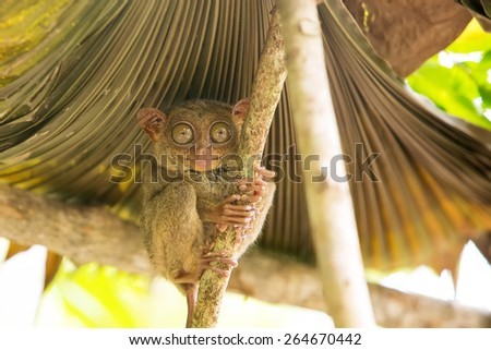 Tarsier the world's smallest primate in Bohol, Philippines - stock photo