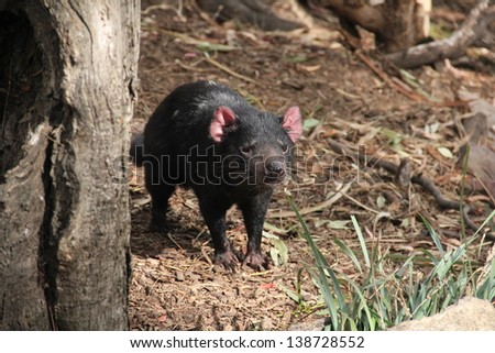 Tasmanian devil close up full frame, australia - stock photo