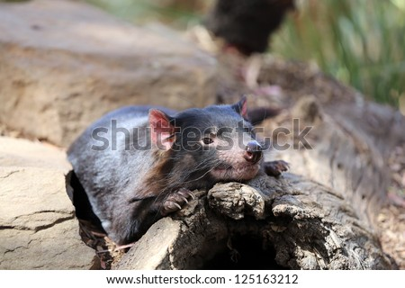Tasmanian Devil (Sarcophilus harrisii) - stock photo