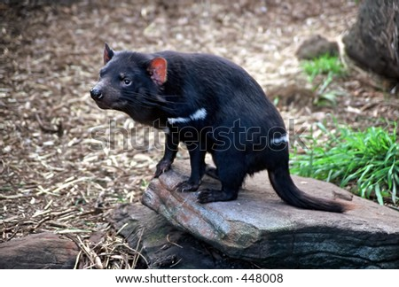 Tasmanian Devil (Sarcophilus harrisii), sitting on a rock - stock photo