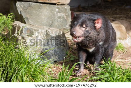 Tasmanian Devil showing his cleAn teeth. - stock photo