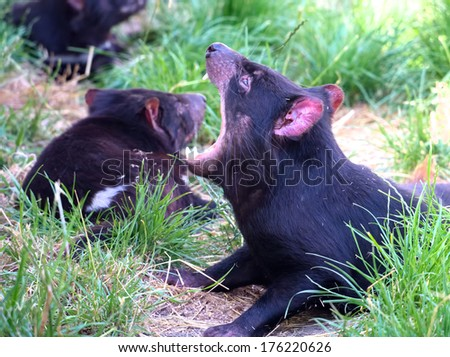 tasmanian devil showing its vicious teeth - stock photo