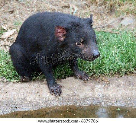 Tasmanian Devil Sitting By Water - stock photo