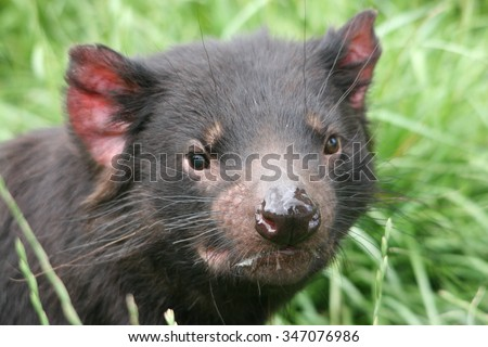 Tasmanian Devil taken in North Western Tasmania  - stock photo